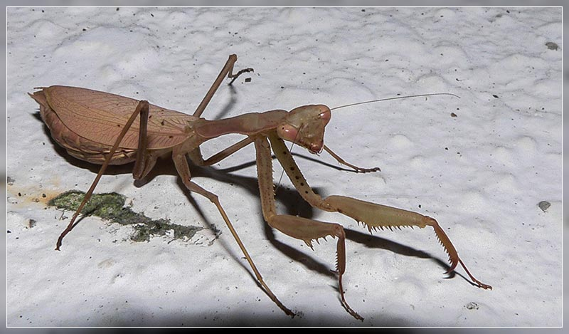 Praying Mantis In New Zealand Travis Wetland
