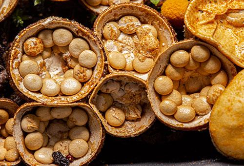 Common Birds Nest Fungus, Crucibulum laeve
